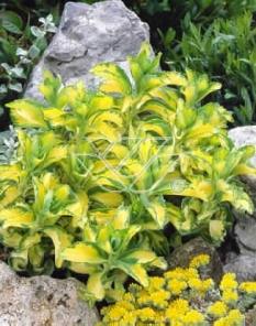 """Rozchodnik alboroseum 'Mediovariegatum' <div class=""""lat""""> Sedum alboroseum </div>"""