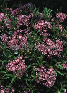 Kalmia szerokolistna 'Minuet' <div class='lat'> Kalmia latifolia </div>