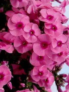 """Floks wiechowaty 'Jeff's Pink' <div class=""""lat""""> Phlox panniculata </div>"""