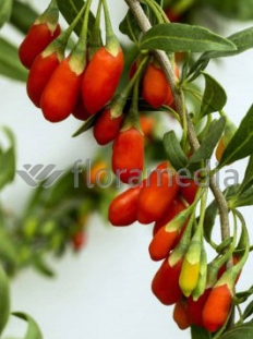 Kolcowój 'Big Lifeberry' - Jagody Goji <div class='lat'> Lycium barbarum </div>