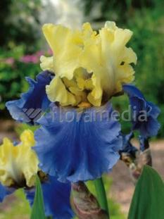 Kosaciec (Irys) bródkowy 'Edith Wolford' <div class='lat'> Iris germanica </div>