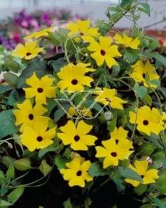"Tunbergia żółta <div class=""lat""> Thunbergia </div>"