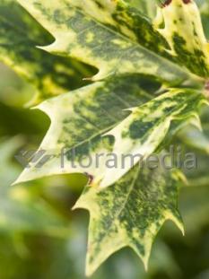 "Osmanthus 'Goshiki'  <div class=""lat""> Osmanthus heterophyllus </div>"