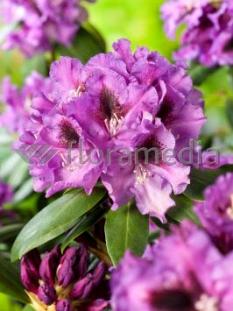 "Rododendron 'Rasputin' <div class=""lat""> Rhododendron </div>"