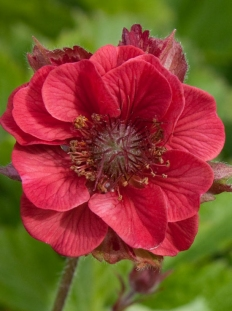 "Kuklik 'Flames of Passion' <div class=""lat""> Geum </div>"