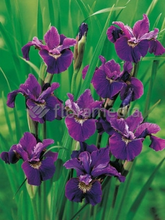 Kosaciec (Irys) syberyjski 'Roaring Jelly' <div class='lat'> Iris sibirica </div>