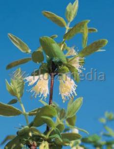 Jagoda kamczacka 'Siniczka' <div class='lat'> Lonicera coerulea var. Kamtschatica </div>
