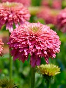 Jeżówka 'Pink Bonbon' <div class='lat'> Echinacea </div>