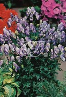 """Tojad 'Bicolor' <div class=""""lat""""> Aconitum cammarum </div>"""