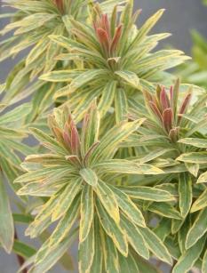 """Wilczomlecz migdałolistny 'Ascot Rainbow' <div class=""""lat""""> Euphorbia amygdaloides </div>"""