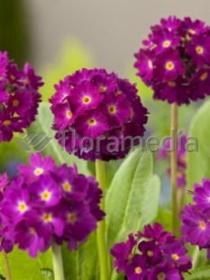 "Pierwiosnek ząbkowany 'Rubin' <div class=""lat""> Primula denticulata </div>"