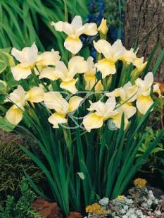 Kosaciec (Irys) syb. 'Butter and Sugar' <div class='lat'> Iris sibirica </div>