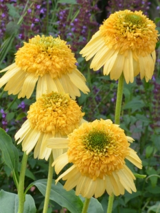 Jeżówka 'Meteor Yellow' <div class='lat'> Echinacea </div>