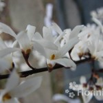 Abeliophyllum koreańskie