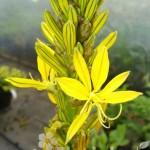 Złotnica lutea