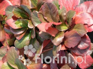 Jesienne liście bergenii