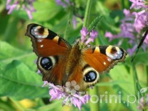 Motyl na odętce