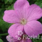 Geranium endressi