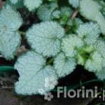 Lamium-maculatum-Beacon-Silver