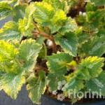 Lamium maculatum 'Golden Anniversary'