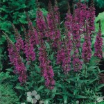 Krwawnica 'Rote Hybriden'