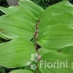 Polygonatum-falcatum-Variegata