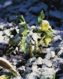 Kwiaty ciemiernika często wyrastają spod śniegu