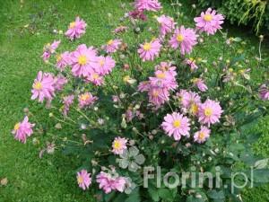 Zawilec japoński sprawdza się jako roślina uprawiana w pojemniku