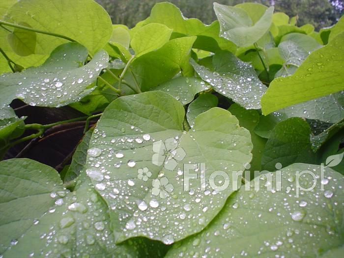 Kokornak to pnącze o pięknych sercowatych liściach
