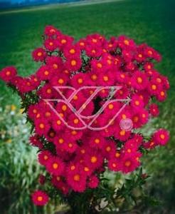 Aster 'Crimson Brocade'