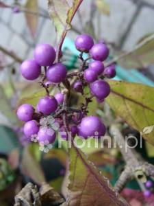 Owoce pięknotki bodinera 'Profusion'