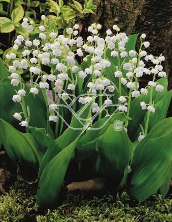 Biale Kwiaty Jak Dzwoneczki Blog Florini Pl
