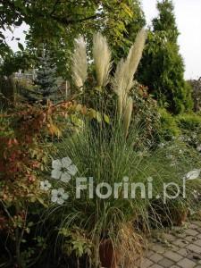 Trawa pampasowa wspaniale udaje się uprawiana w pojemniku