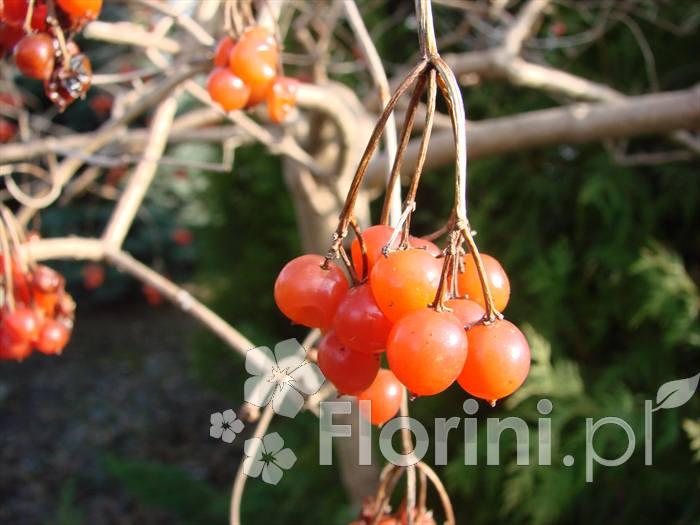 Owoce krzewów często stanowią ozdobę również zimą