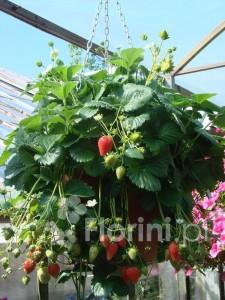 Truskawka o zwisających pędach owocuje do 6 miesięcy!