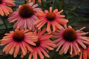 Kwiaty jeżówki 'Mama Mia' zmieniają barwę w trakcie kwitnienia