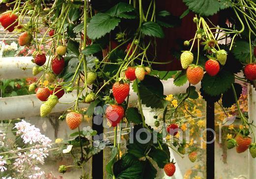 Truskawki Owocujące Aż Do Mrozów Blog Ogrodniczy Porady