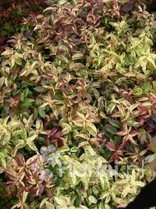 Kiścień (Leucothoe) zachowuje liście także zimą