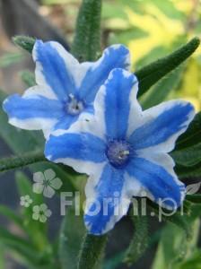Litodora oprócz pięknych kwiatów ma ładne liście, które zdobią ją także zimą
