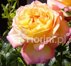 Róża 'Gloria' odurza zapachem