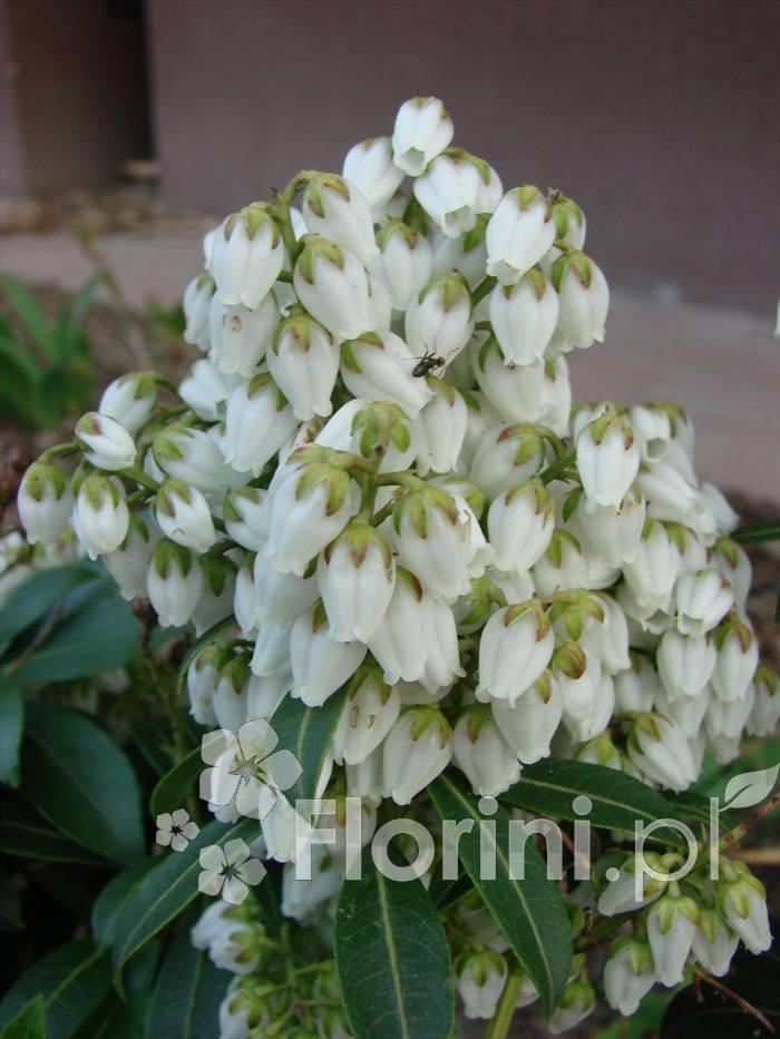 Jednym z licznych walorów pierisa są piękne, bardzo liczne kwiaty