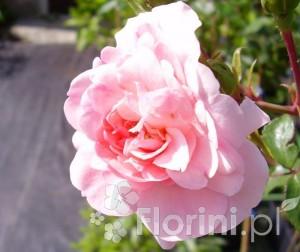 Róża - królowa kwiatów