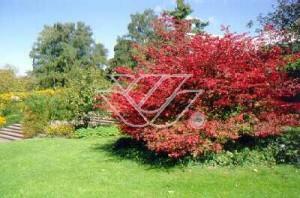 Trzmielina oskrzydlona w ogrodzie