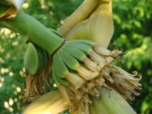 Bananowiec - zgrabna kiść dojrzewająca w polskim słońcu :)