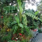 Bananowiec (Musa basajo)