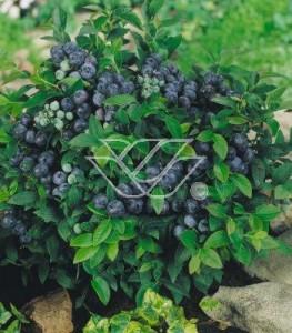 Odmiany późne - dzięki nim możemy delektować owocami aż do jesieni