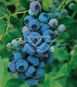 'Chandler' - odmiana niezwykle plenna o smacznych owocach