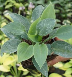Hosta 'Halcyon' ma piękne niebieskei liście przez cały sezon