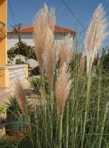 Trawa pampasowa - najlepiej sprawdza się w uprawie pojemnikowej