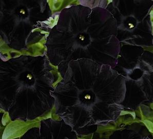 Petunia 'Black Velvet' - odmiana o niezwykle oryginalnych kwiatach